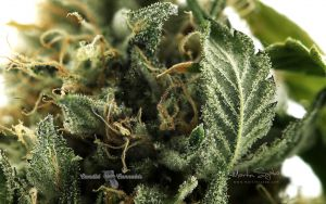 05_Finest-Professional-Cannabis_photography-lindsey-2